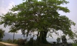 Cây đa thương có miếu đình hoặc đền bên dưới để thờ cúng