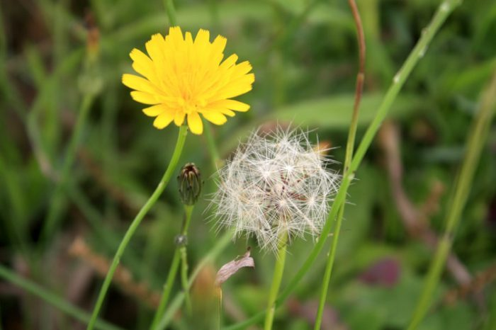 Cận cảnh hoa Bồ Công Anh