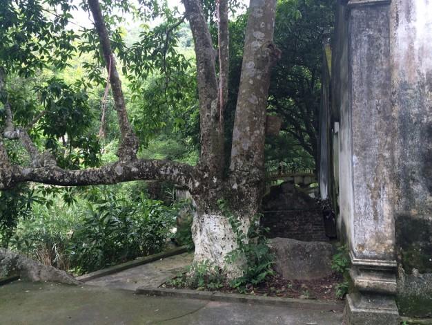 Vẻ cổ kính của đền Trung, trong ảnh là gốc cây Lan, tỏa hương thơm ngào ngạt cho cả dân làng mỗi khi mùa hoa