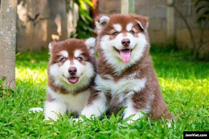 Chó Alaska nhỏ